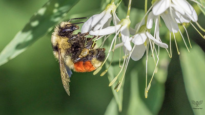 Orange Belted Bumblebee - BOMBUS TERNARIUS