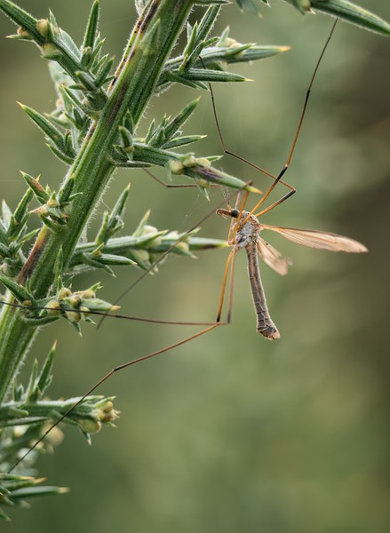 Daddy Long Legs - Crane Fly on Greenham Common Newbury