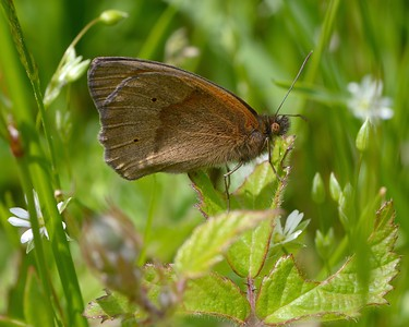 Brown Spotted Butterfly - Greenham 13th June 2017