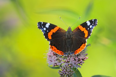 The Red Admiral Butterfly