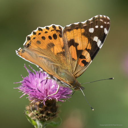 Painted Lady Butterfly 2 - Rhayader 2019