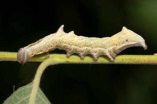 Horned Caterpillar at Kintbury 26th June 2018 -2