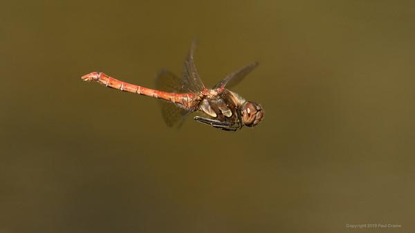 Common Darter Dragonfly 2 at Decoy Heath