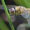 DRagonfly at PB
