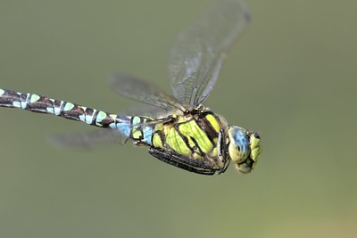 Southern Hawker Dragonfly - - in flight over Sole Common