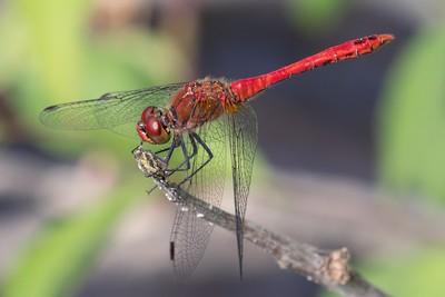 Male Ruddy Darter Dragonfly at Decoy Heath - 6th July 2018 -2