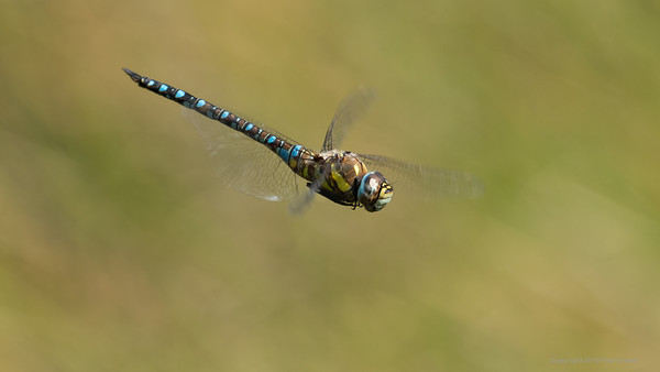 Migrant Hawker Dragonfly 3 at Decoy Heath