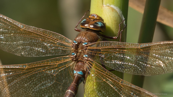 Male Brown Hawker Dragonfly Closeup at Decoy Heath