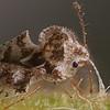 Lace Bug (Corythucha - ?)