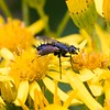 Fly crossing yellow flowers at Decoy Heath