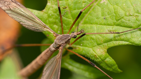 Crane Fly Closeup 2020 2