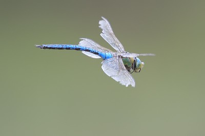 Emperor Dragonfly with damaged wings at Greenham Common