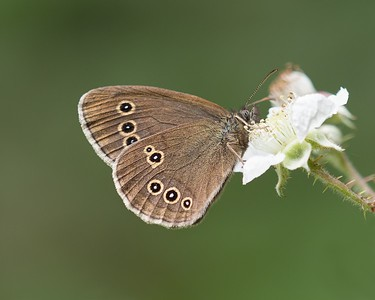 Ringlet Butterfly at Bowdown 23rd June 2018