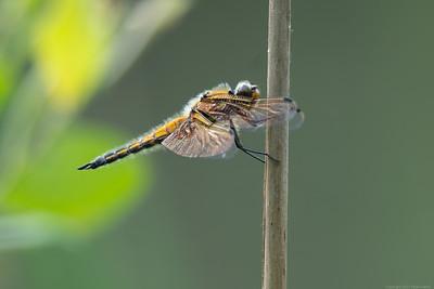 Dragonfly at Decoy Heath