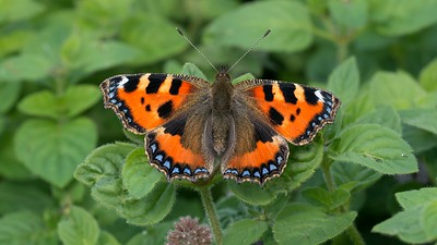 A Small Tortoisehell Butterfly