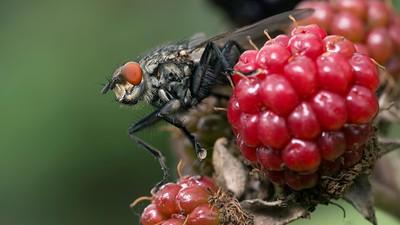 Fly on Blackberries