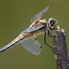 Broad Bodied Chaser Dragonfly Male at Decoy Heath