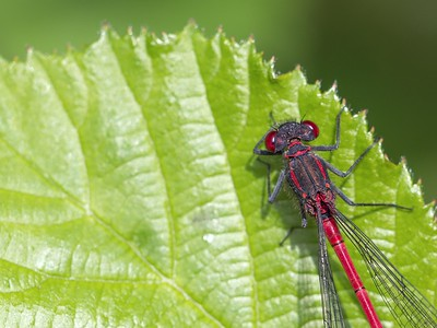 Large Red Damselfly at Bowdown 23rd June 2018