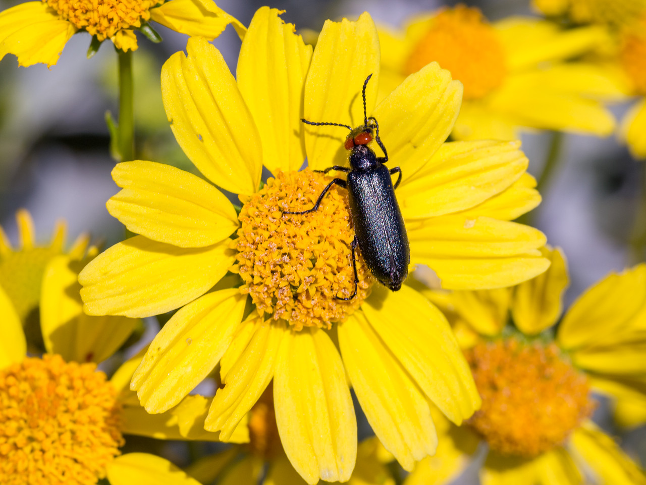 Red eared blister beetle in Anza Borrego Desert State Park.