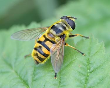 A Golden Yellow Bee at Decoy Heath