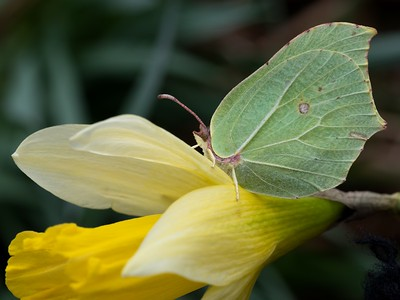 Brimstone Butterfly on a Daffodil at Bowdown Woods Newbury - First butterfly of 2018 26th March