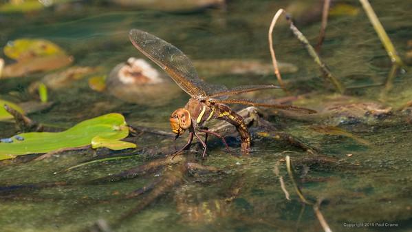 Female Brown Hawker Dragonfly Ovipositoring at Decoy Heath