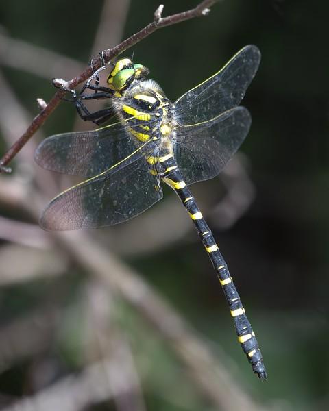 Golden Ringed Dragonfly - Decoy Heath