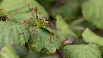 Male Speckled Bush Cricket at Hungerford