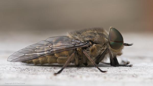 Female Horse Fly close 2 - Pulborough Brooks