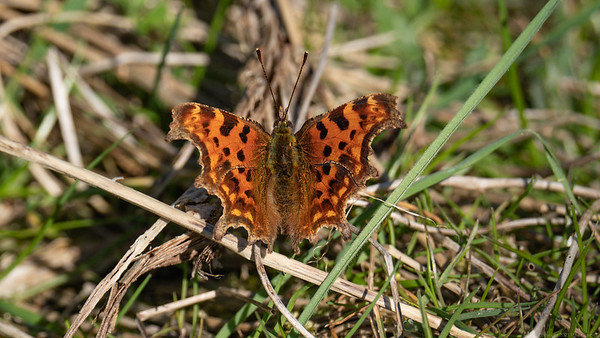 Comma Butterfly at Speen Newbury - First Butterfly Pic of 2021