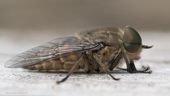 Female Horse Fly close - Pulborough Brooks