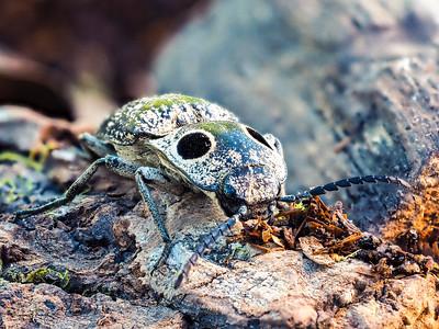 Eastern Eyed Click Beetle