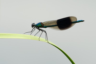 Male Banded Demoiselle Damselfly at Woolhampton 4th July 2018