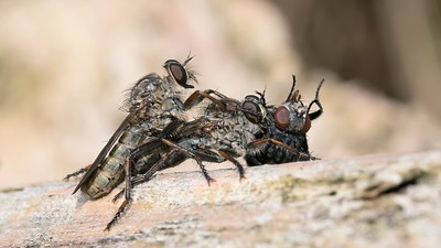 Two Robber flies  - Asilidae - and victim