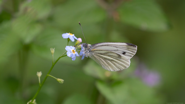Green Veined White Butterfly 2020