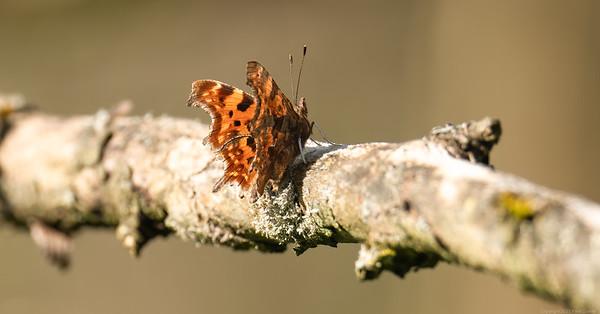 Comma Butterfly 2_