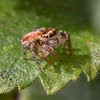 A 4mm long Jumping spider - Salticidae - at Crookham Common