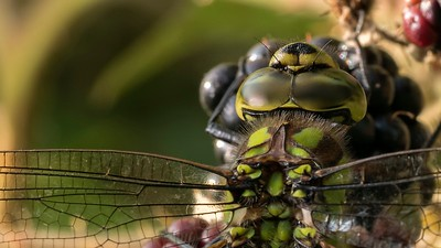 A Female Southern Hawker Dragonfly amongst the Blackberries Close up -  Kintbury