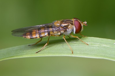 Hoverfly Landed