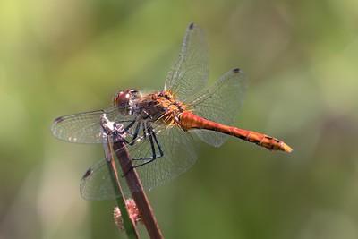 Ruddy Darter Dragonfly at Decoy Heath - 5th July 2018 -2