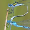 Mr Emerald Damselfly clasping Mr Common Blue Damselfly - Decoy Heath