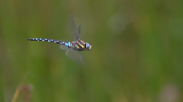 Common Hawker Dragonfly - Aeshna Juncea - Decoy Heath