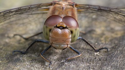 Dragonfly up Close at Pulborough Brooks 2