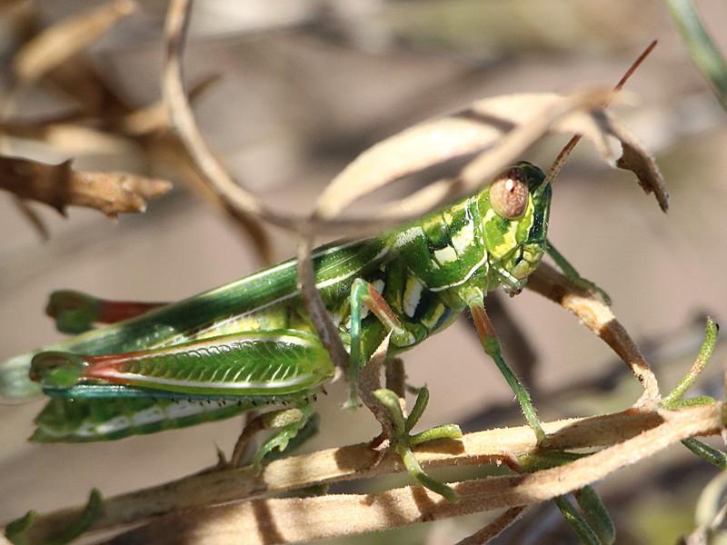 Snakeweed Grasshopper -  Hesperotettix viridis