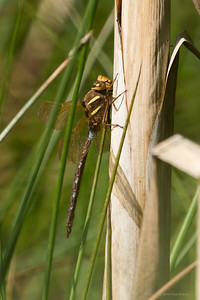 Migrant Hawker Dragonfly 2 at Decoy Heath
