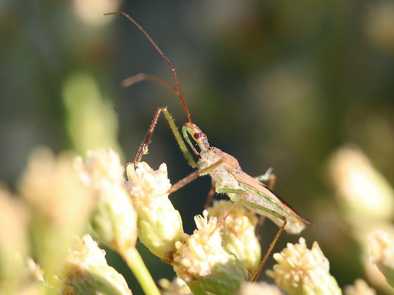 Assassin Bug, Zelus renardii