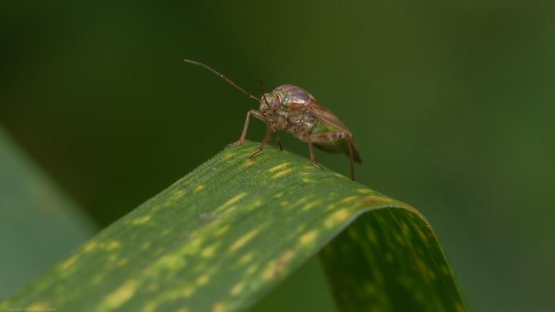 Green Pink Bug
