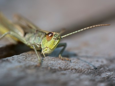 Heres Looking at You - Grasshopper at Pulborough Brooks