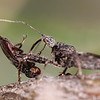 Assassin Bug, Sinea rileyi