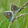 A Pair of Common Blues 2